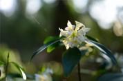 곶자왈 희귀식물 제주백서향 꽃이 벌써 활짝!!